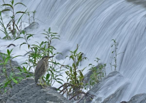 ササゴイ幼鳥6 DSC_0140