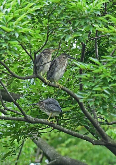 ササゴイ幼鳥1 DSC_0310