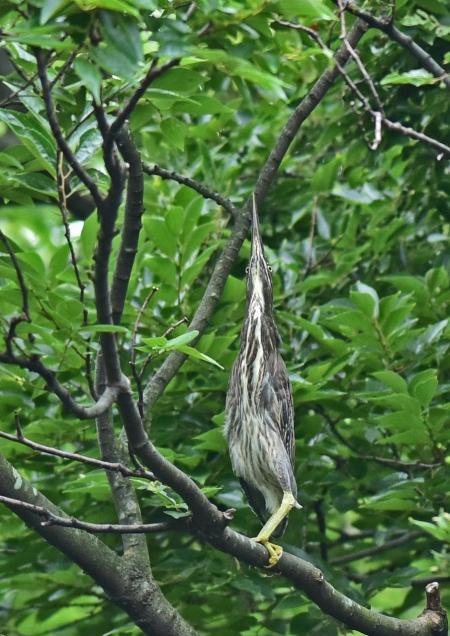 ササゴイ幼鳥2 DSC_0270