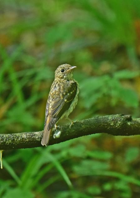 キビタキ幼鳥2 DSC_0550
