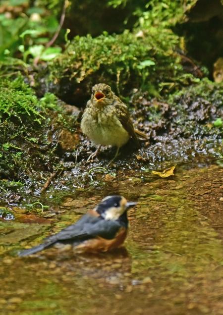 キビタキ幼鳥とヤマガラ7 -DS