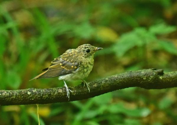 キビタキ幼鳥4 DSC_0096