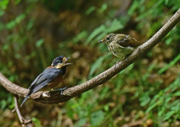 キビタキ幼鳥とヤマガラ6 DSC