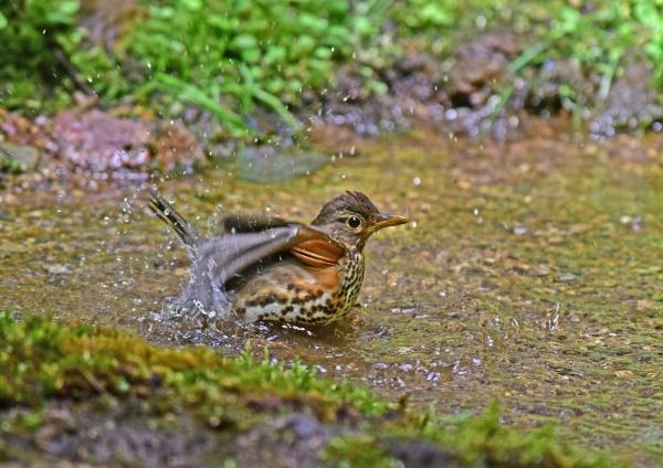クロツグミ雌水浴び1 峠-072