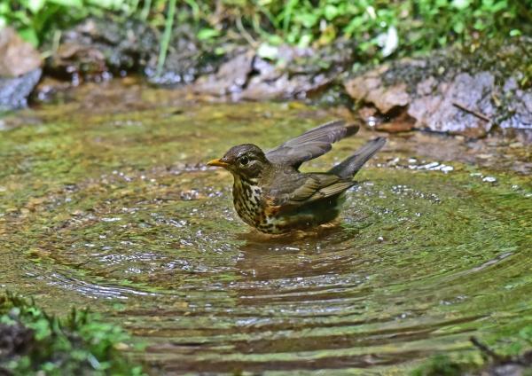 クロツグミ雌水浴び5 DSC_024