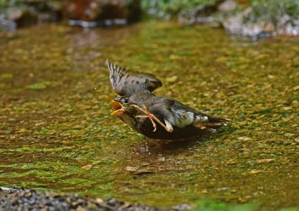 クロツグミ雌水浴び6 DSC_006