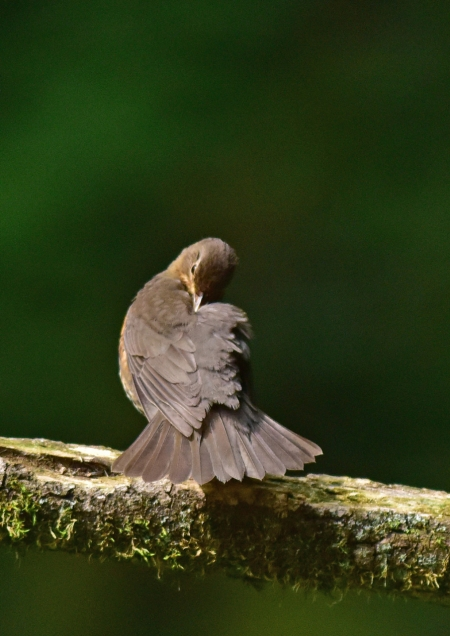 クロツグミ雌羽繕い1 DSC_048