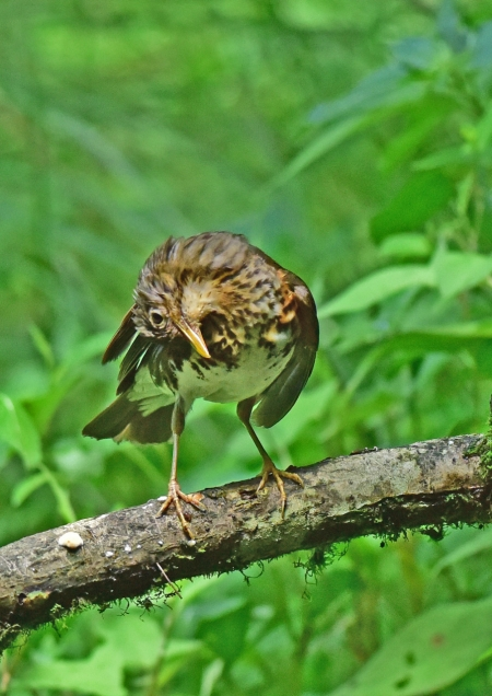 クロツグミ雌羽繕い4 DSC_012