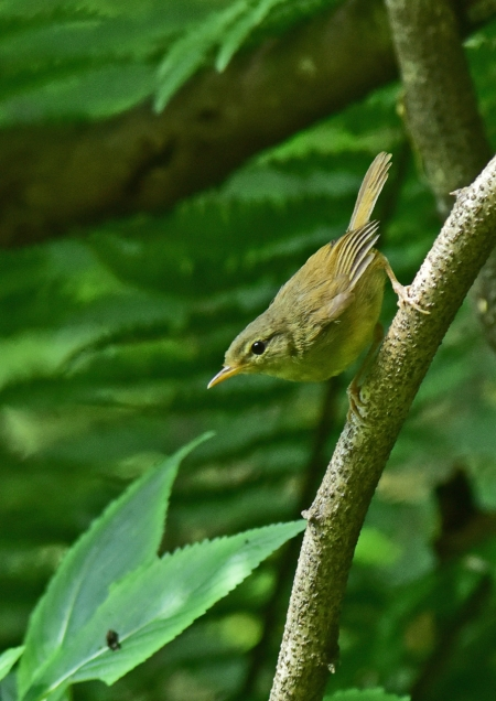 ウグイス幼鳥1 DSC_0096