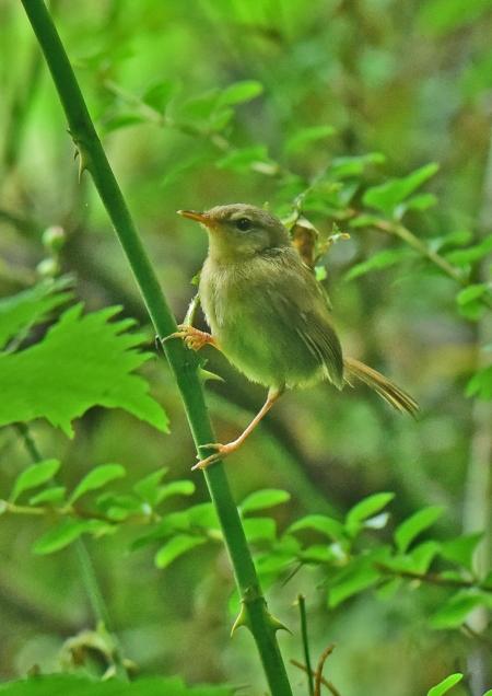 ウグイス幼鳥4 DSC_0705