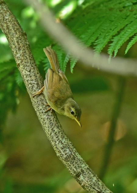 ウグイス幼鳥5 DSC_0206