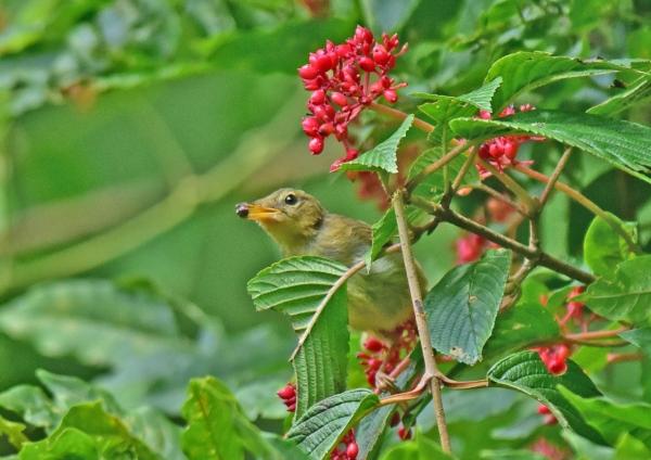 ウグイス幼鳥2 DSC_0327