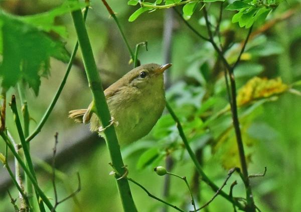 ウグイス幼鳥3 DSC_0691