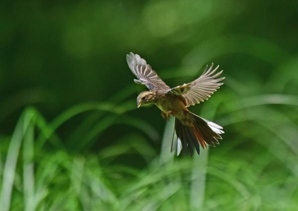 ホオジロ2幼鳥 DSC_0076