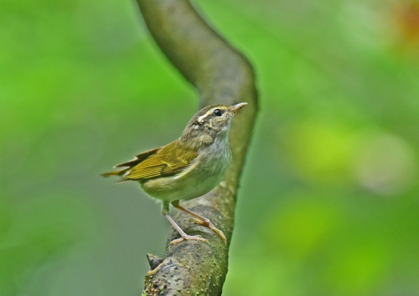 センダイムシクイ幼鳥2-- DSC
