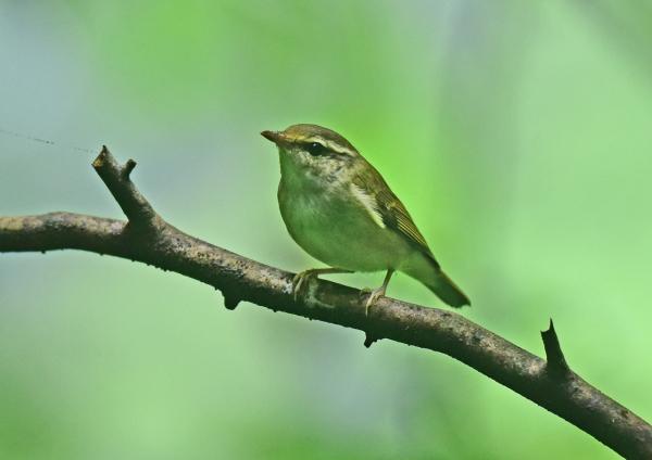 センダイムシクイ幼鳥-3 DSC_