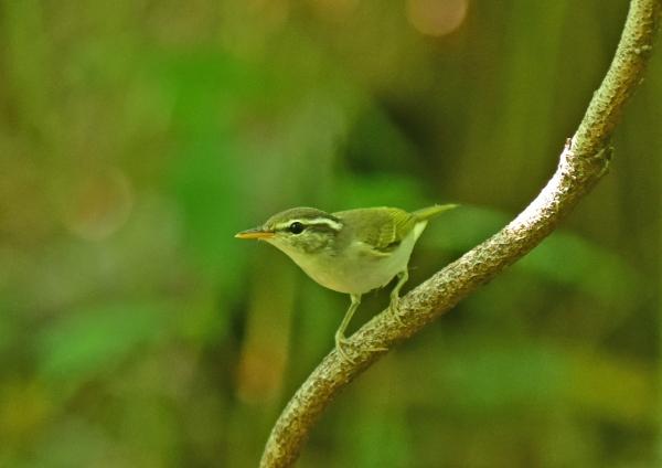 センダイムシクイ幼鳥4 ----D
