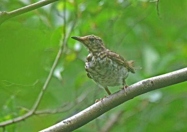 クロツグミ幼鳥1 DSC_0124