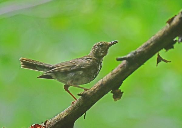 クロツグミ幼鳥4 DSC_0109