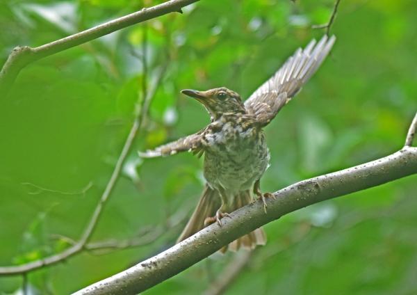 クロツグミ幼鳥5 DSC_0123