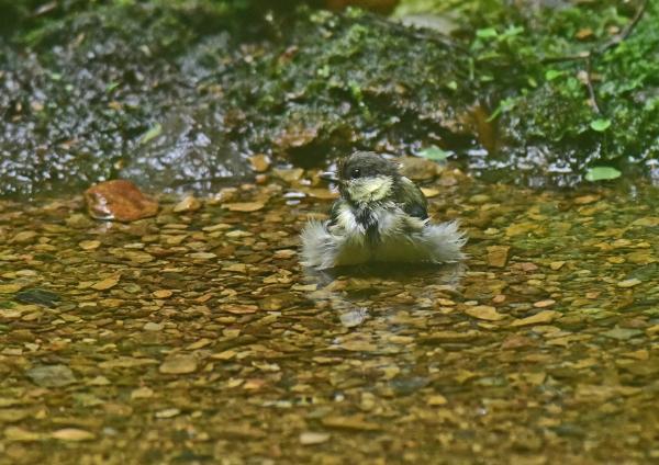 シジュウカラ幼鳥1 DSC_0382