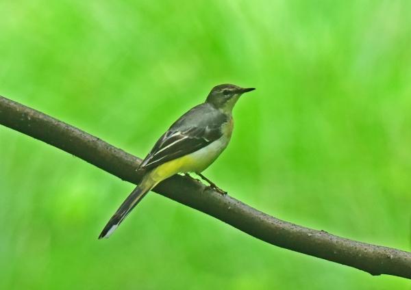 キセキレイ幼鳥1 DSC_0217