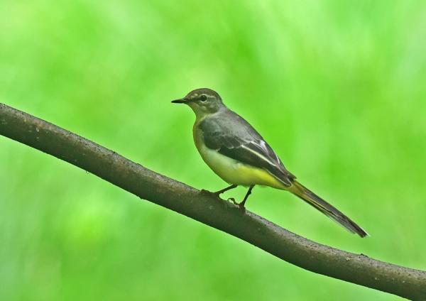 キセキレイ幼鳥2 DSC_0209