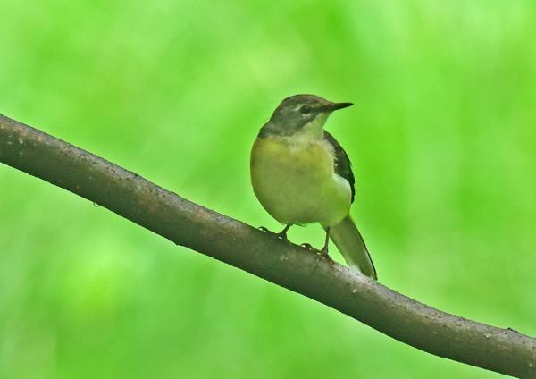 キセキレイ幼鳥3 DSC_0221