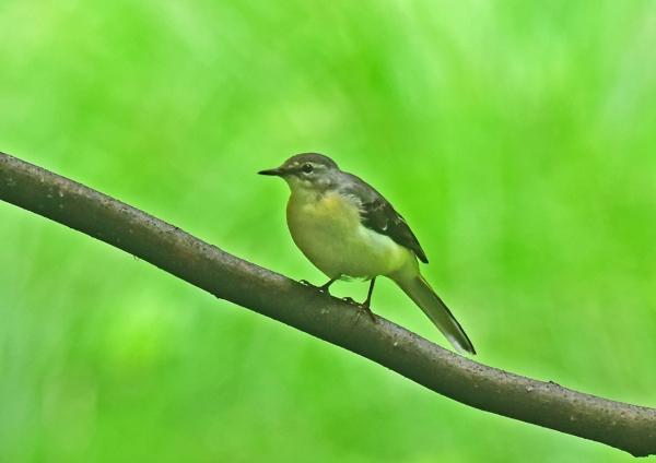 キセキレイ幼鳥4 DSC_0224