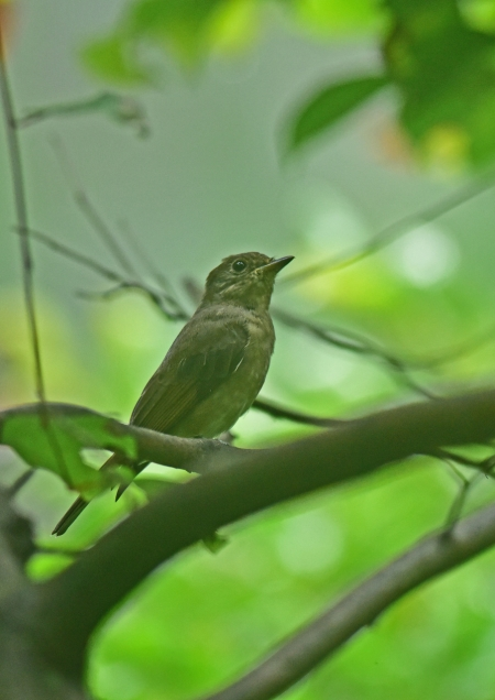 オオルリ幼鳥2 DSC_0150