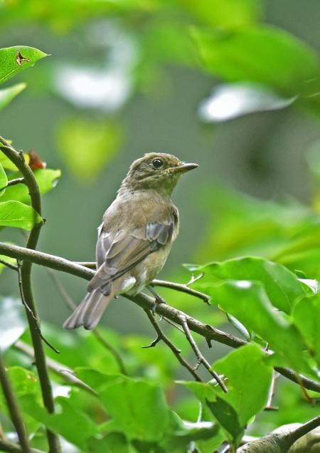 オオルリ幼鳥3 DSC_0164