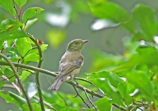 オオルリ幼鳥1 DSC_0157