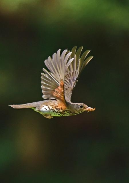 クロツグミ雌飛び5 DSC_0027