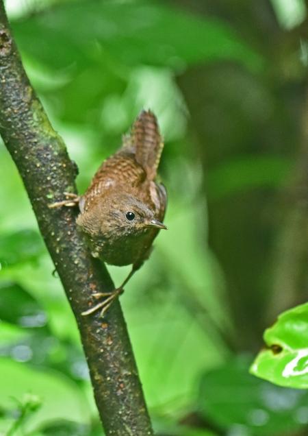 ミソサザイ幼鳥3 DSC_0201