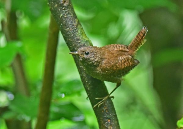 ミソサザイ幼鳥4 DSC_0205