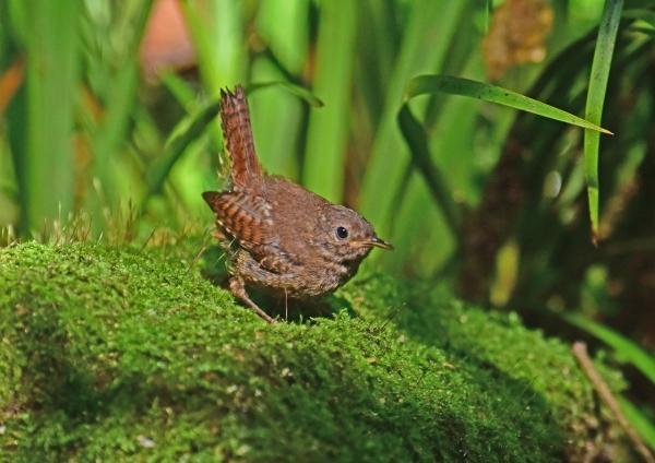 ミソサザイ幼鳥5 DSC_0047