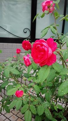 rose2016613