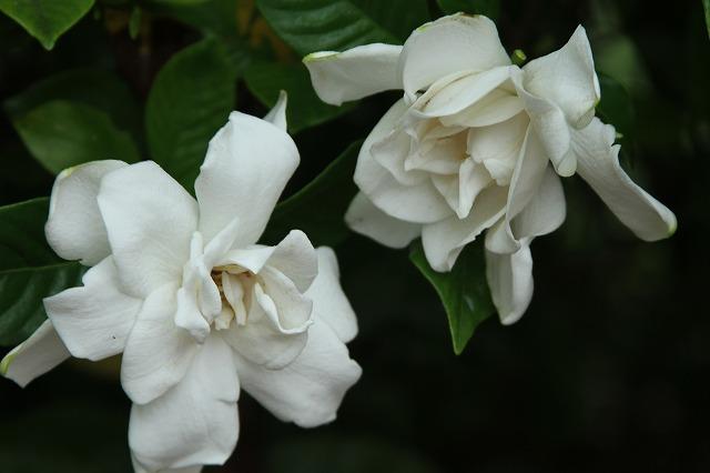 くちなしの花 2016.6 公園