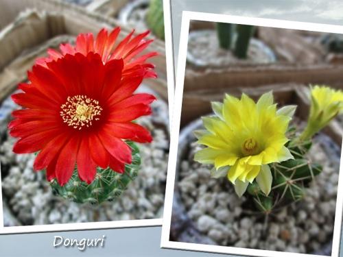サボテンの花♪