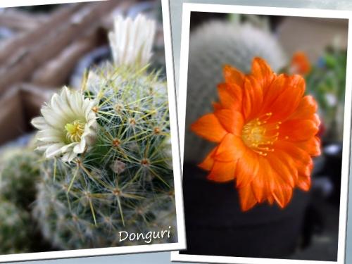 サボテンの花♪♪