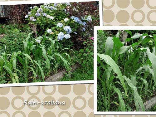 トウモロコシの居る花壇 (^ ^b