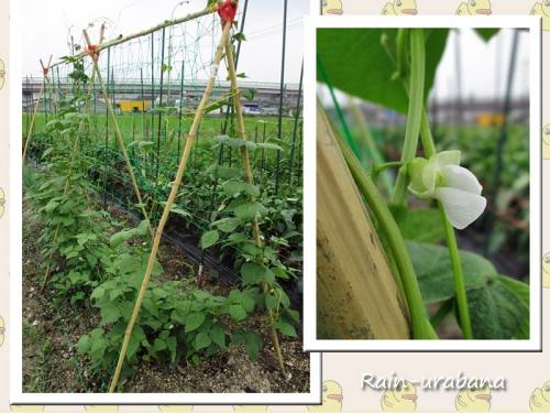 モロッコ豆の花 (^ ^V