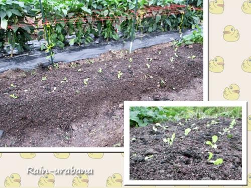 サニーレタスも植えました♪