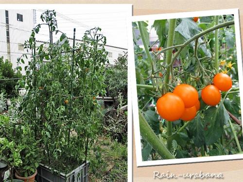 ミニトマト順調に成長中♪