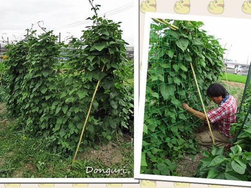 モロッコ豆の収穫♪