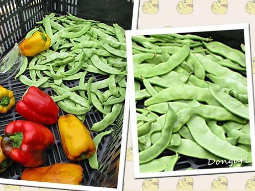 モロッコ豆&パプリカの収穫