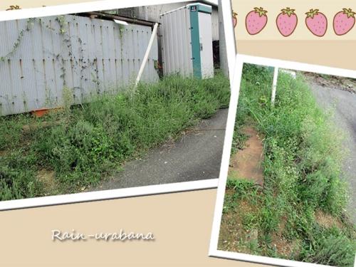 ミュウガを植える場所...