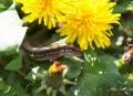 カナヘビ&たんぽぽ2