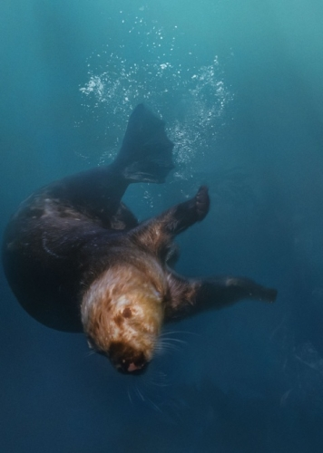 seaotter_large_2x
