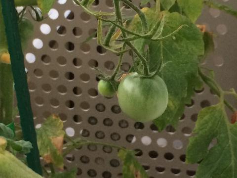 20160727 トマト③